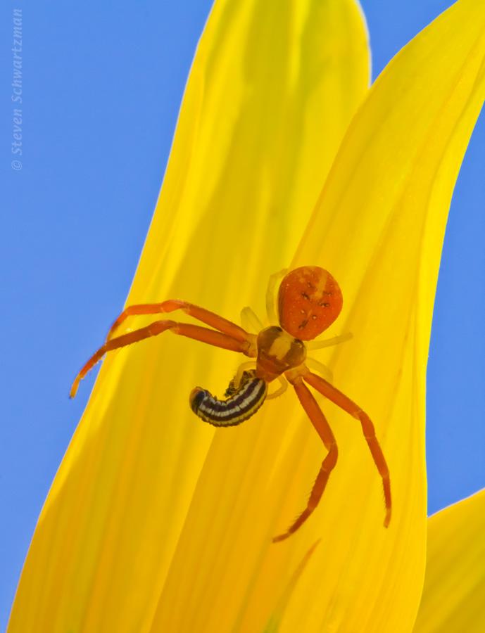 Crab spider biting a tiny caterpillar