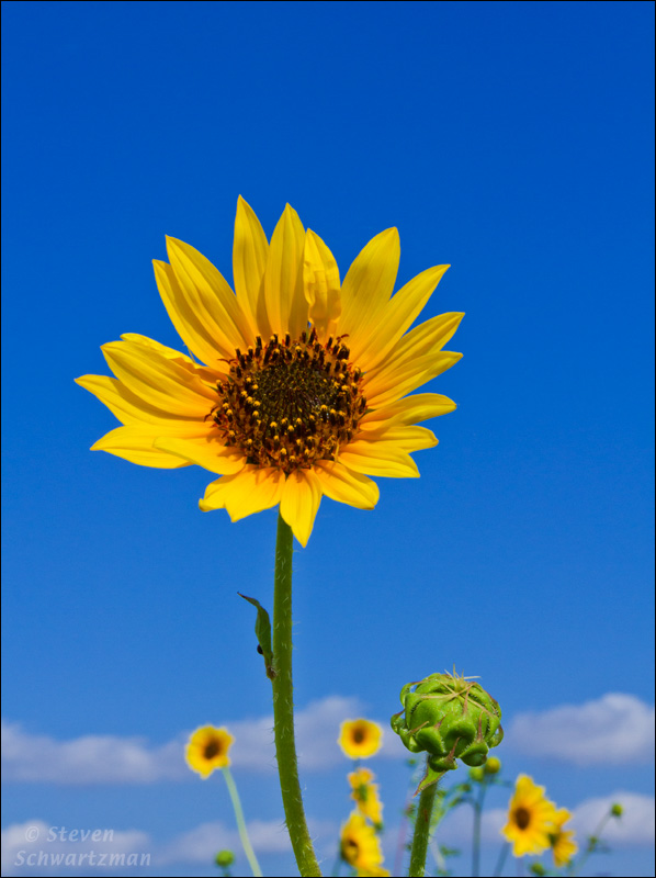 Helianthus annuus sunflower
