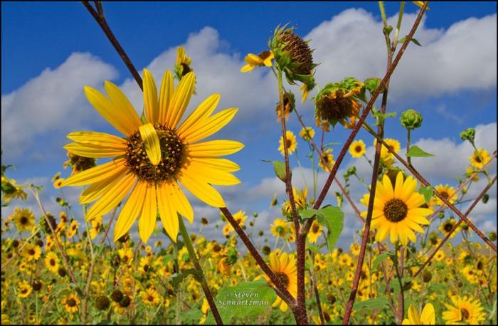 Sunflower Colony 4955