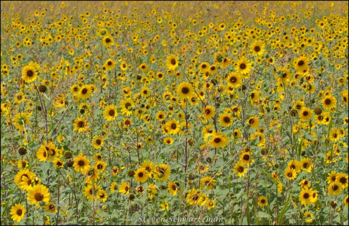 A colony of sunflowers, Helianthus annuus