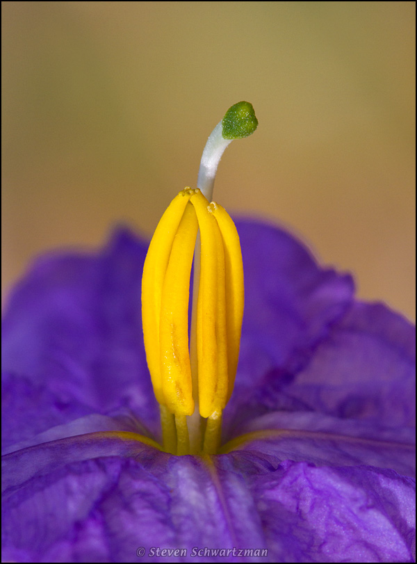 Silverleaf nightshade flower portraits of wildflowers click mightylinksfo