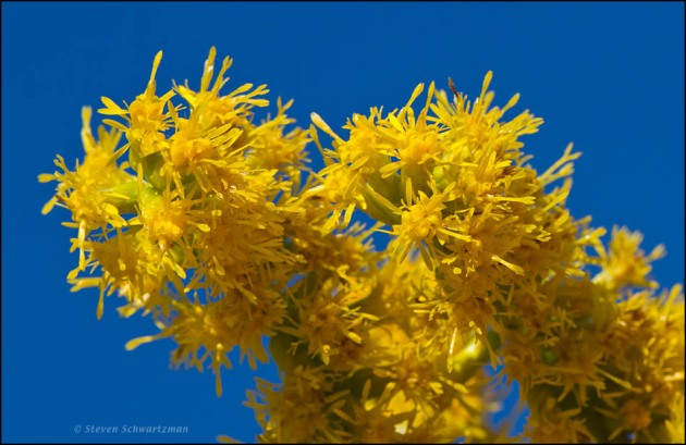 Goldenrod flowers; click for greater detail.