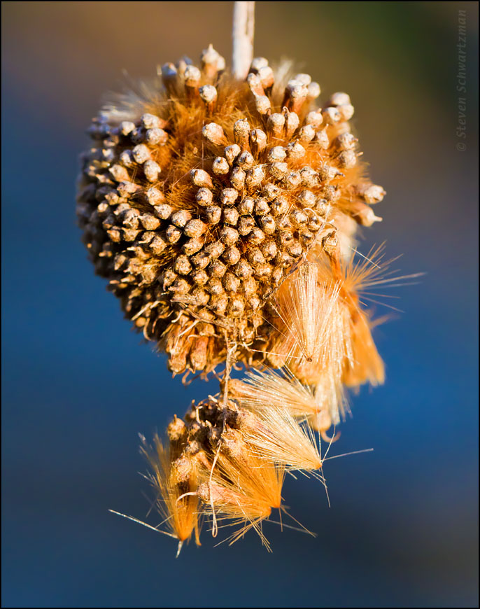 Sycamore seed ball   Portraits of Wildflowers