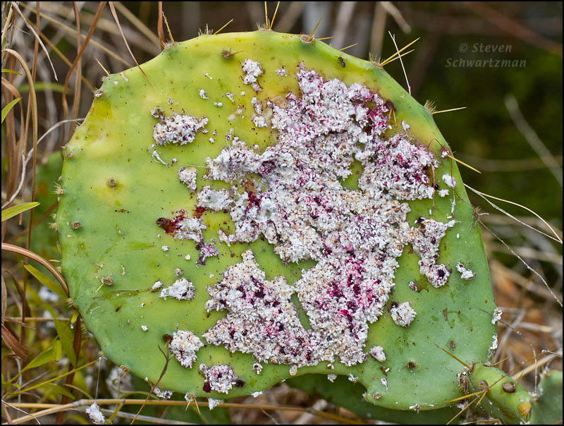 Cochineal: Food Coloring Made from Bugs