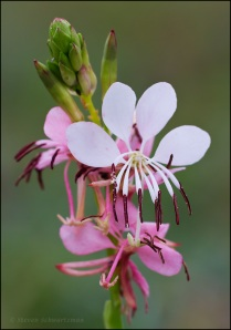 Gaura Flowers and Buds 6843