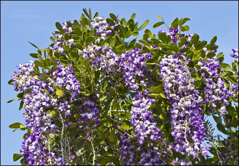 Texas mountain laurel flowering portraits of wildflowers click mightylinksfo