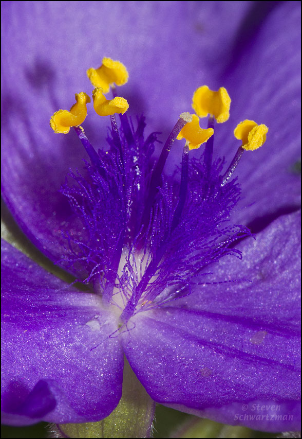 Spiderwort flower center portraits of wildflowers okay mightylinksfo