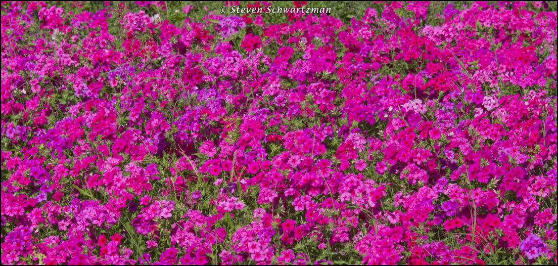 Hot pink portraits of wildflowers click mightylinksfo