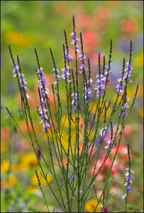 Texas Vervain by Other Wildflowers 1070