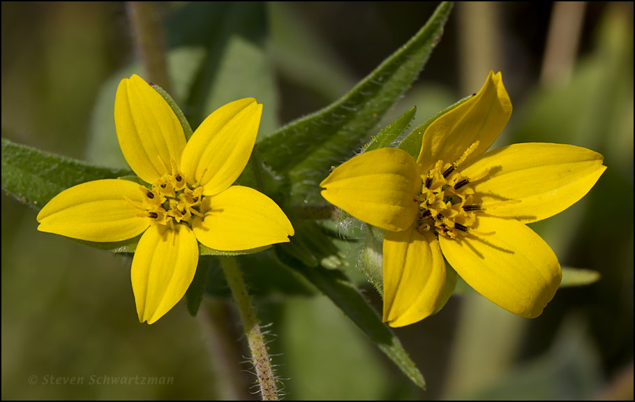 Texas yellow star portraits of wildflowers click mightylinksfo