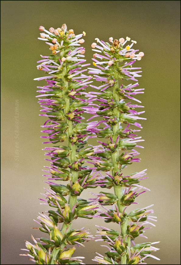 A tall flower spike take two portraits of wildflowers for Plant with tall spikes of yellow flowers