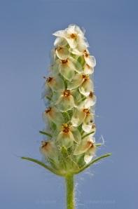 Heller's Plantain Flowering 6119