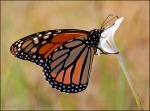Monarch Butterfly on Rain-Lily 4145