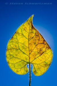 Pearl Milkweed Vine Leaf Turning Yellow 3598