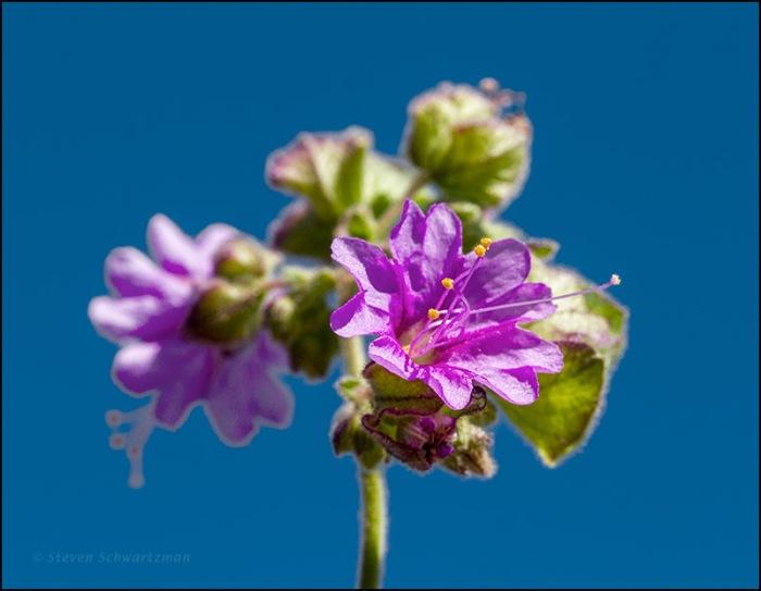Whitestem Four O'Clock Flower 3557