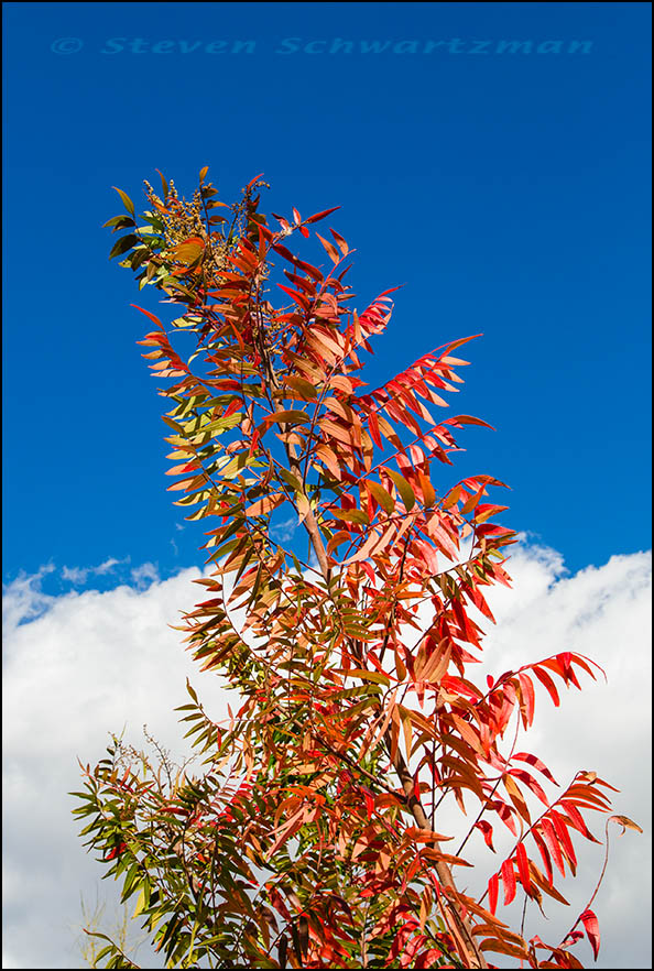 Flameleaf Sumac Turning Colors by Clouds 4159