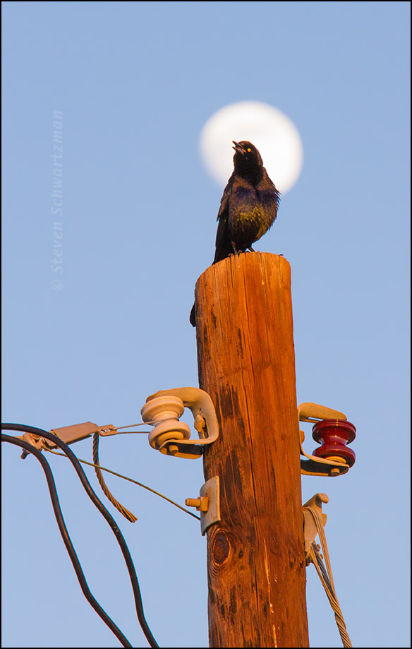 Grackle on Pole with Full Moon 9077