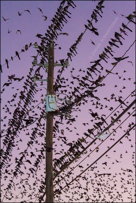 Grackles on Wires and Flying 9342