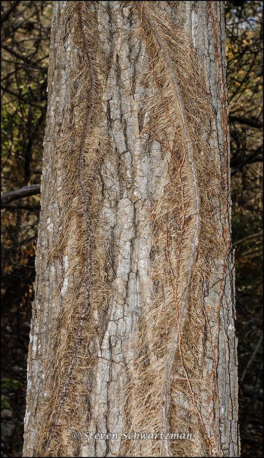 Poison Ivy Vine on Tree 6051