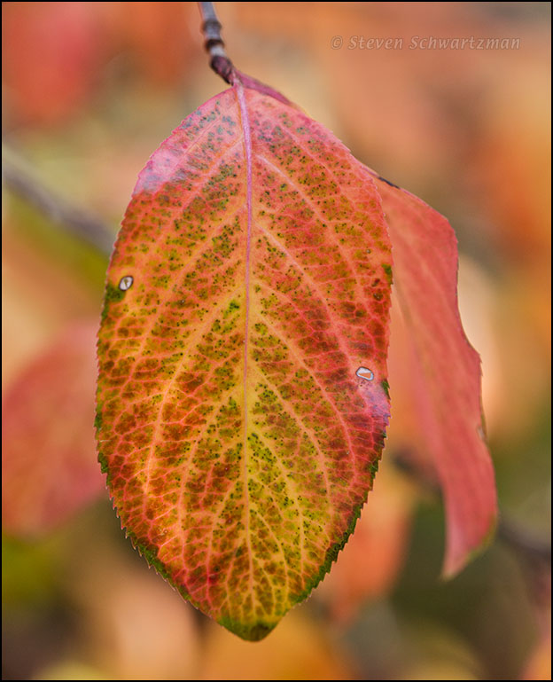 Rusty Blackhaw Leaf Changing Color 0210