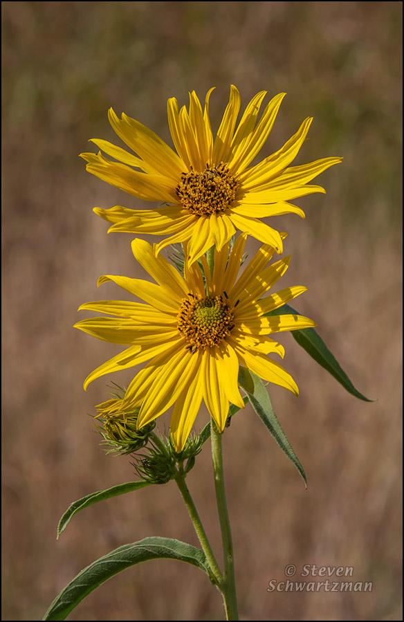Two Maximilian Sunflower Flower Heads 7823