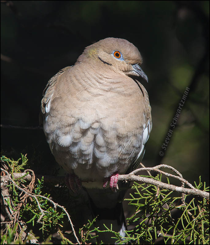 White-Winged Dove on Ashe Juniper 1237