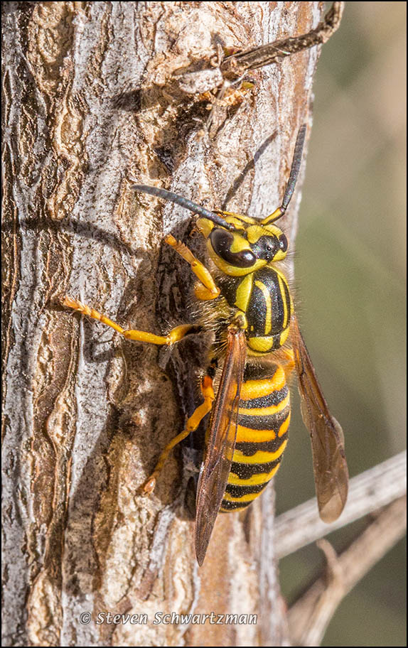 Yellowjacket on Poverty Weed Branch 2876