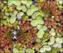 Duckweed and Small Insects1494A