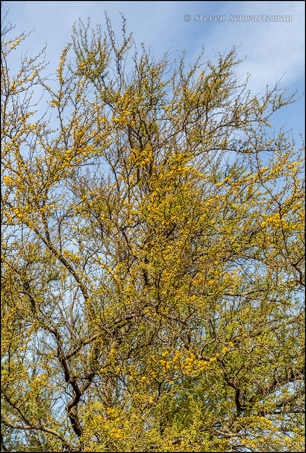 Huisache Tree Blossoming 8210