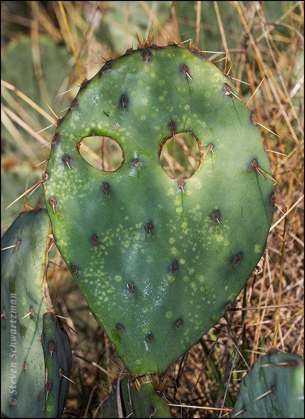 Prickly Pear Cactus Pad with Two Holes in It  7339