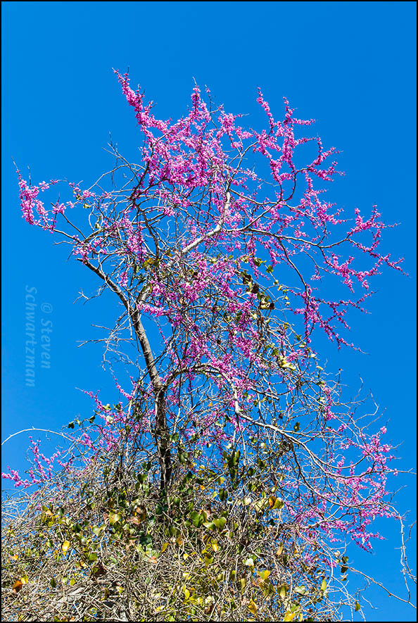 Redbud Tree Flowering Above Greenbrier Vine Tangle 7468