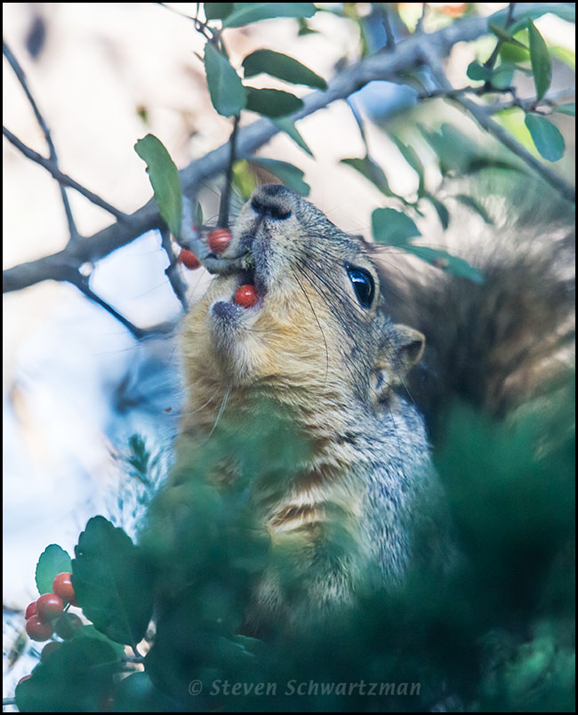 Squirrel Eating Yaupon Fruit 0636A