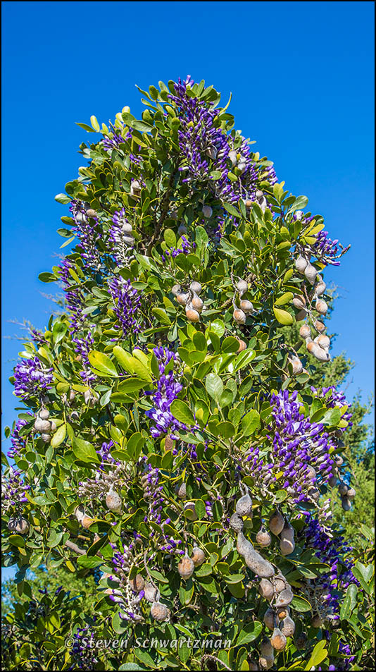 Texas Mountain Laurel Flowering 8309