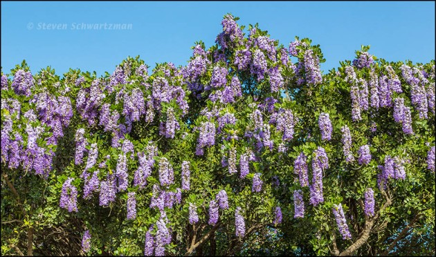 Texas Mountain Laurel Flowering Densely 9571