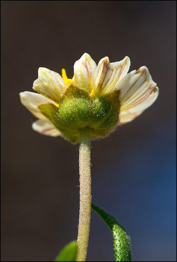 Blackfoot Daisy Flower Head from Below 9391