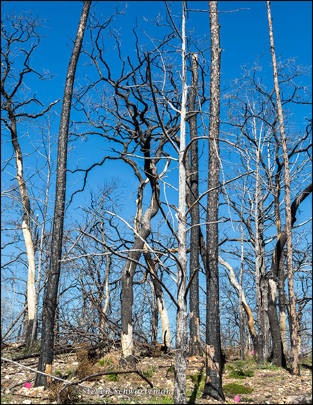 Burned Bastrop Forest 0946