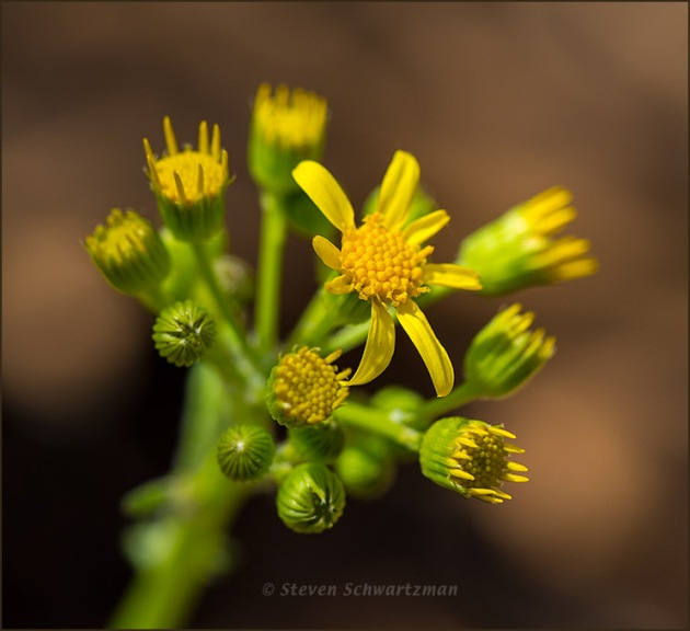 Golden Groundsel Flowers and Buds 1271
