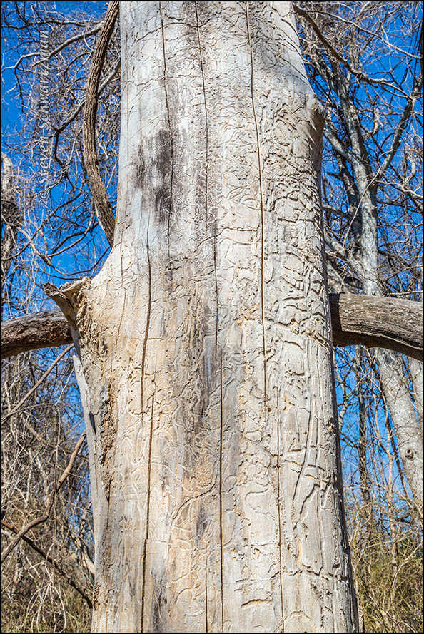 Patterns on Inner Bark of Dead Tree 0488