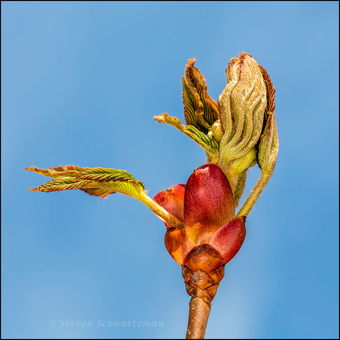 Red Buckeye Leaves Emerging 1304
