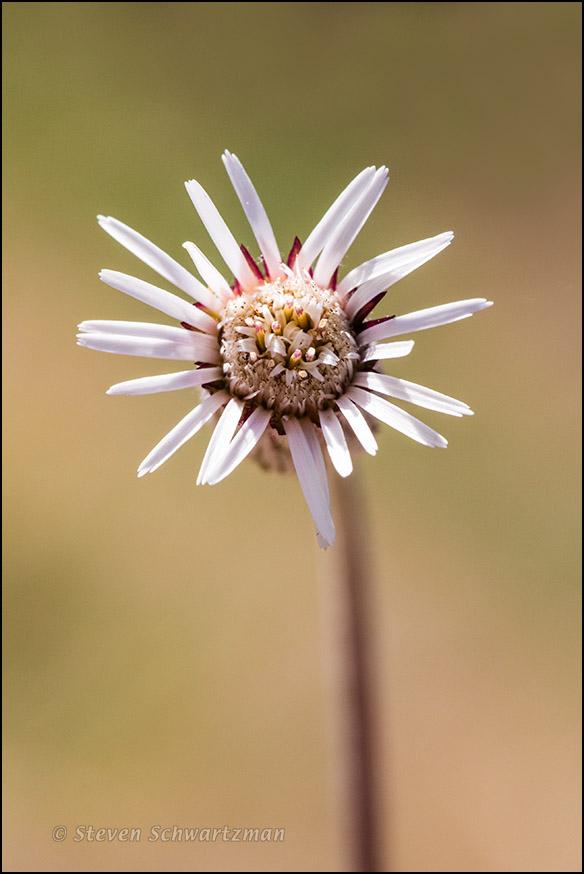 Silverpuff Flower Head Opening 9281