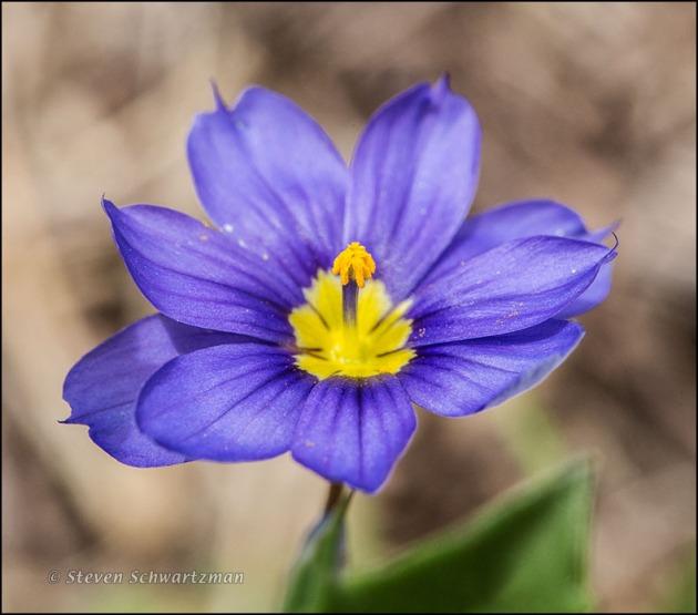 Blue-Eyed Grass Flower 5058