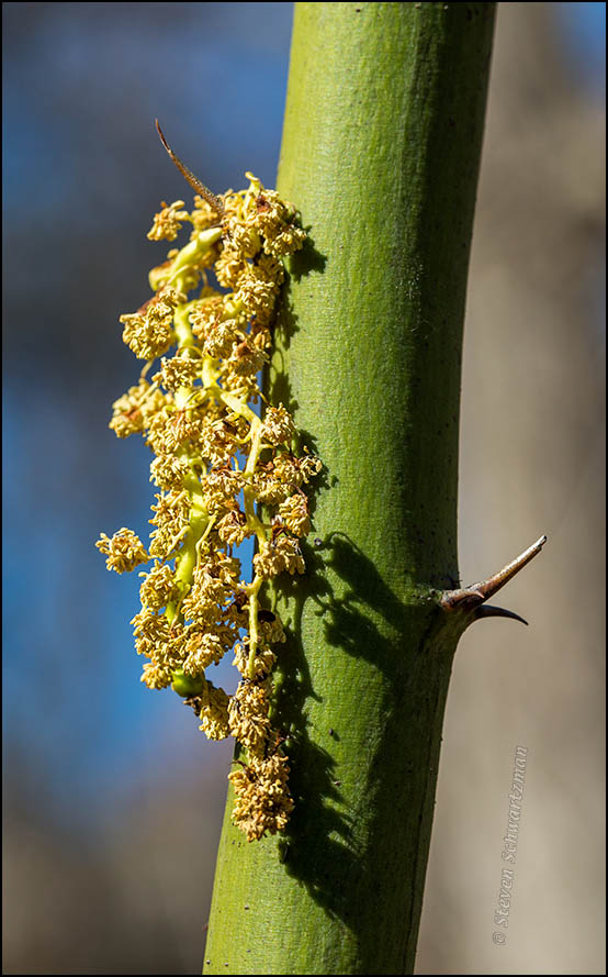 Catkin Fallen onto Paloverde Thorn 2626