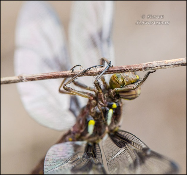 Dragonfly Hanging and Being Buffeted by the Wind 3645