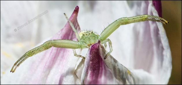 Mecaphesa Crab Spider on Rain-Lily 7558