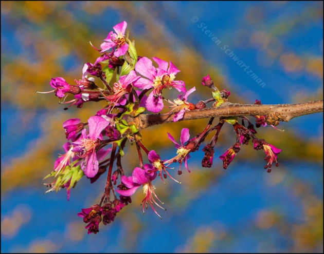 Mexican Buckeye Flowers by Flowering Huisache 2950