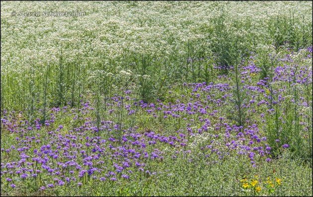 Old Plainsman Colony with Prairie Verbena and Texas Stars in It 8184