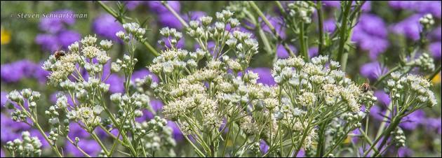 Old Plainsman Flowers by Prairie Verbena 8249