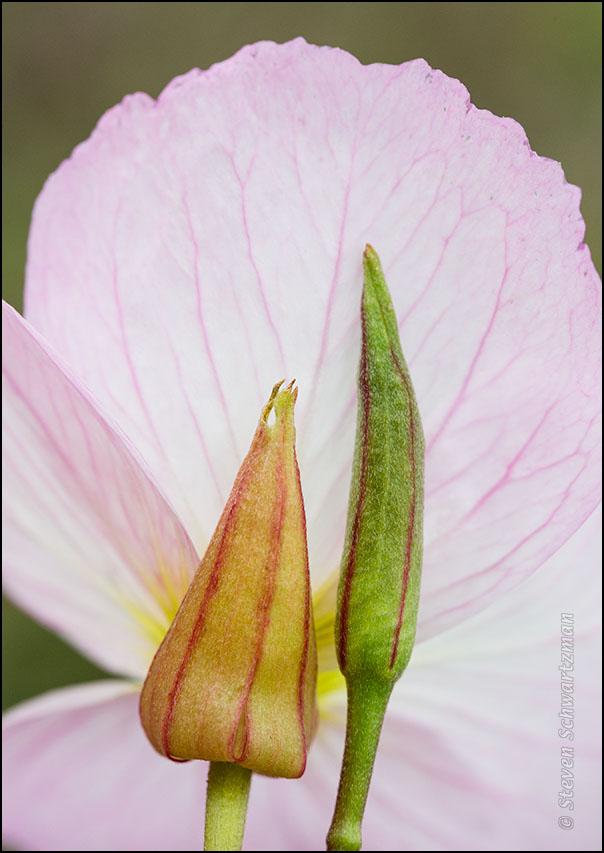 Pink Evening Primrose Bud and Sheath Behind Open Flower 3604