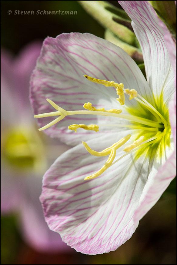 Pink Evening Primrose Flower Center from Side 4749