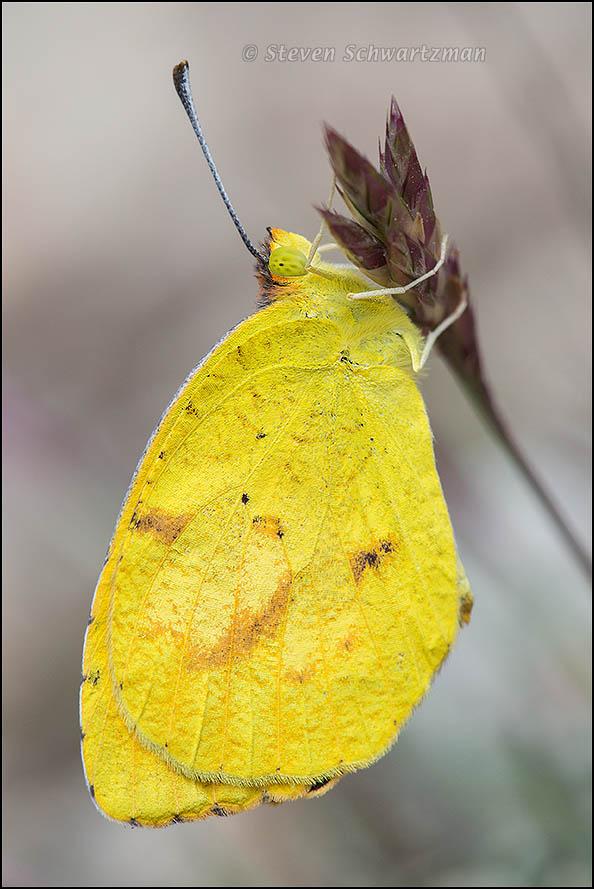 Sleepy Orange Sulphur Butterfly on Grass 5434